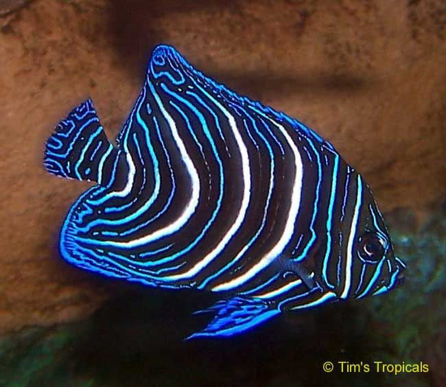 Juvenile Emporer Angel Fish - This amazing fish has electric blue and white stripes in the childhood time and on becoming the adult after 4 years its strips become yellow and blue.