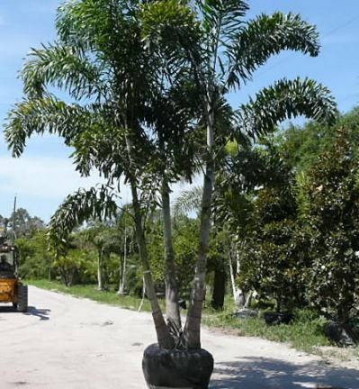 60 Best Palm Landscaping Images On Pinterest Palm Trees