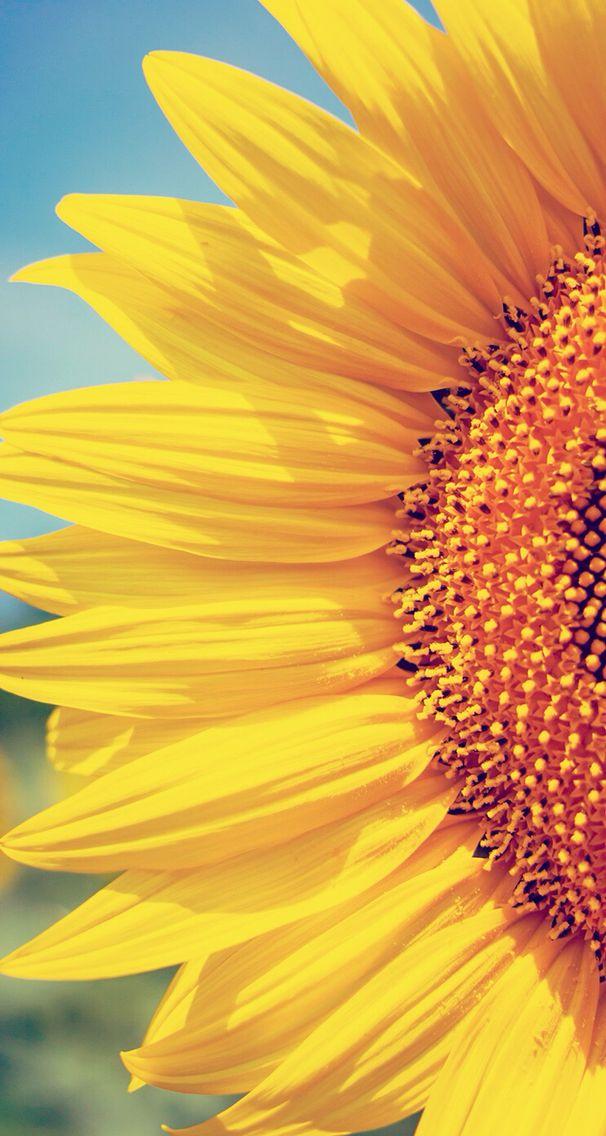 iPhone Wall tjn Sunflower wallpaper, Sunflower pictures