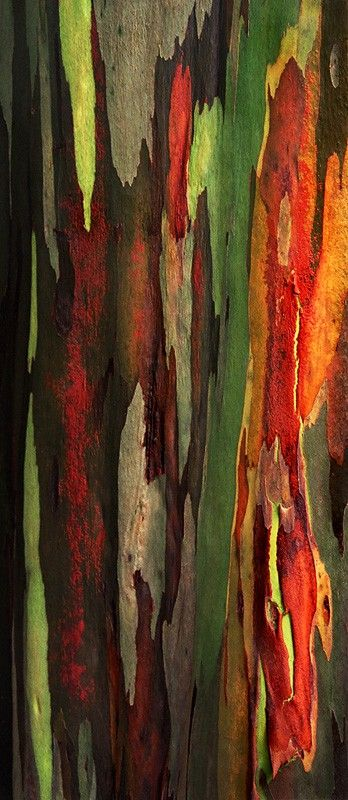Eucalyptus deglupta is a tall tree, commonly known as the Rainbow Eucalyptus. The unique multi-hued bark is the most distinctive feature of the tree. Patches of outer bark are shed annually at different times, showing a bright green inner bark. This then darkens and matures to give blue, purple, orange and then maroon tones.