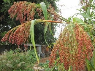 how to grow broom corn and make your own brooms ~ just added these to my planting list! can't wait