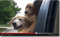 50 Tons de Cinza – Versão canina - Assista este divertido trailer fictício onde os atores do filme foram substituídos por cães labrador. www.popmidia.com.br/talentos/50-tons-de-cinza-versao-canina