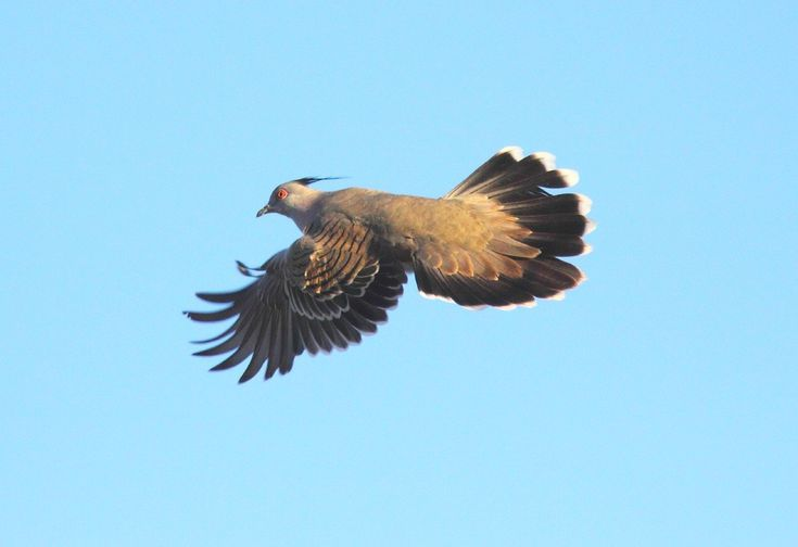 #Crested pigeons use feathers to sound the alarm - Phys.Org: Phys.Org Crested pigeons use feathers to sound the alarm Phys.Org Photograph…