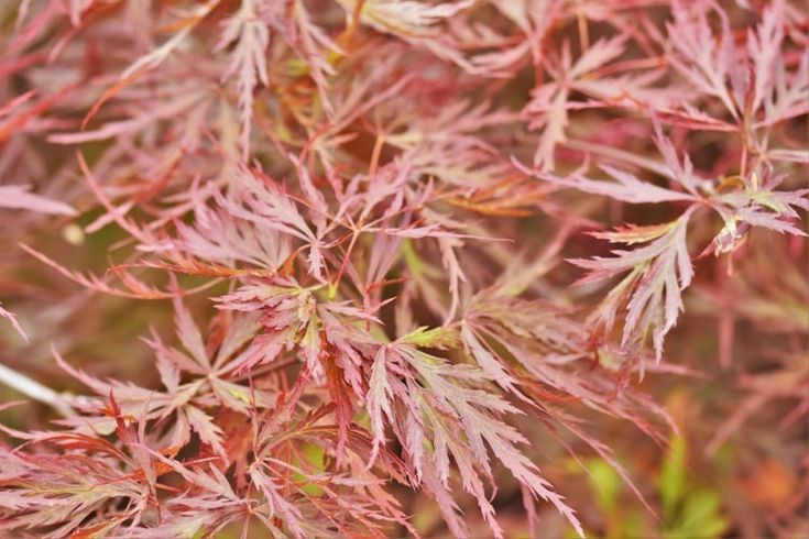 Acer palmatum 'Red Dragon',Japanese Maple 'Red Dragon', Laceleaf Japanese Maple 'Red Dragon', Cutleaf Japanese Maple 'Red Dragon', Threadleaf Japanese Maple 'Red Dragon', Acer palmatum var. dissectum Red Dragon, Red Japanese maple, Red Acer