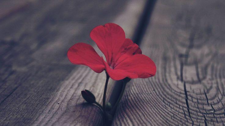 Fleur rouge printemps fleurs hd fond d 39 cran 1920x1080 fond d 39 cran t l charger la nature - Initiatives fleurs et nature ...