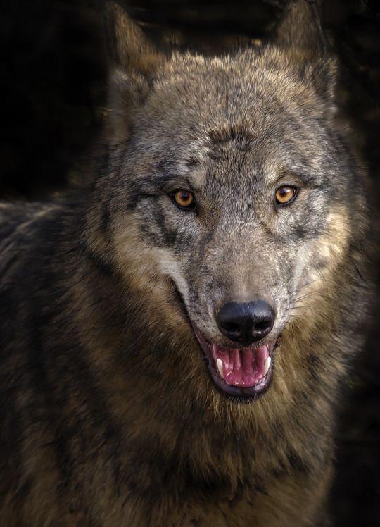 4986 Wolves Images Pinterest Wild Animals Wolf Spirit Tap Picture