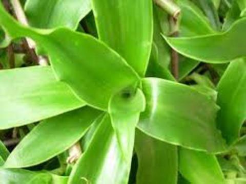 Kalísie voňavá (Callisia fragrans) (Foto: Bylinkář Standa)