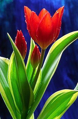 flowersgardenlove: 'Tulip Flowers, Garden Love.'