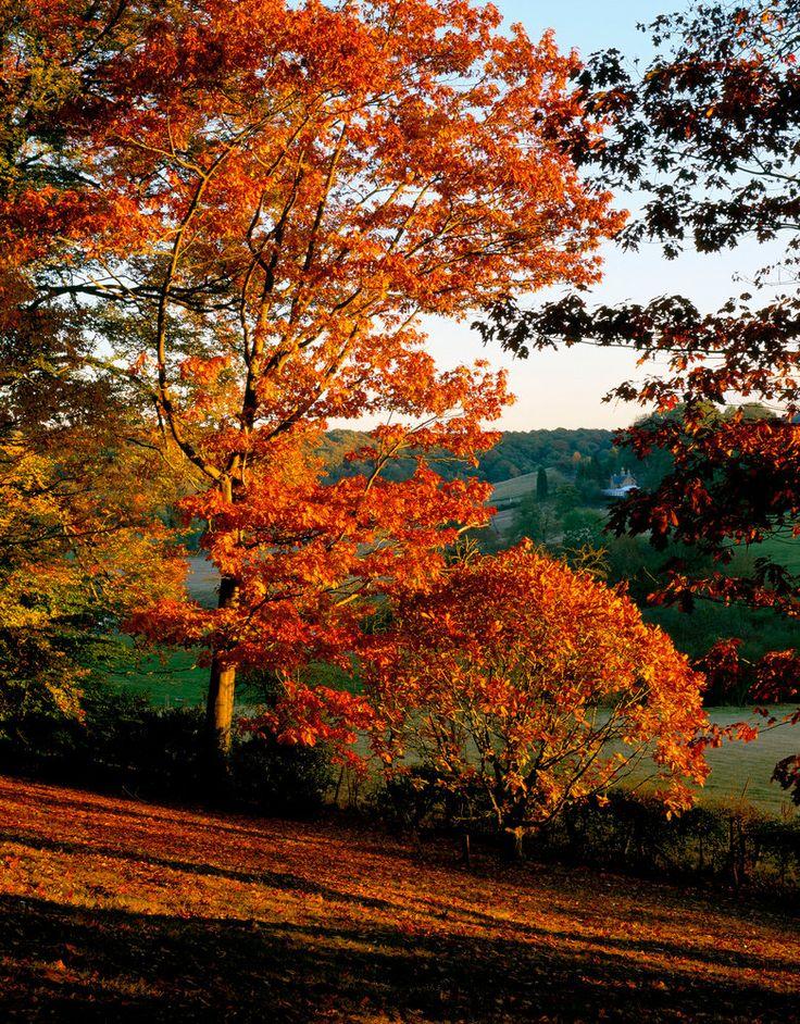 Arley Arboretum, Worcestershire: Evening Light Shining On A Red Oak (quercus Rubra), A Chestnut Leafed Oak (quercus Castaneifolia) And Zelkova Serrata Keaki