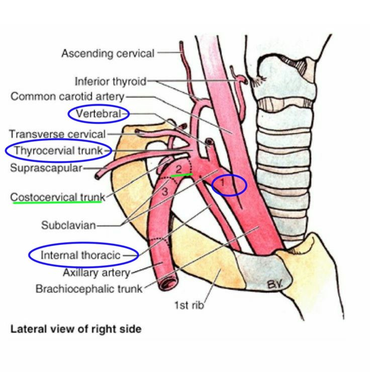 25+ best ideas about subclavian artery on pinterest | cranial, Human Body