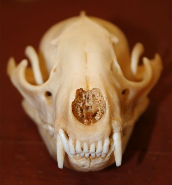 Raccoon Skull $12