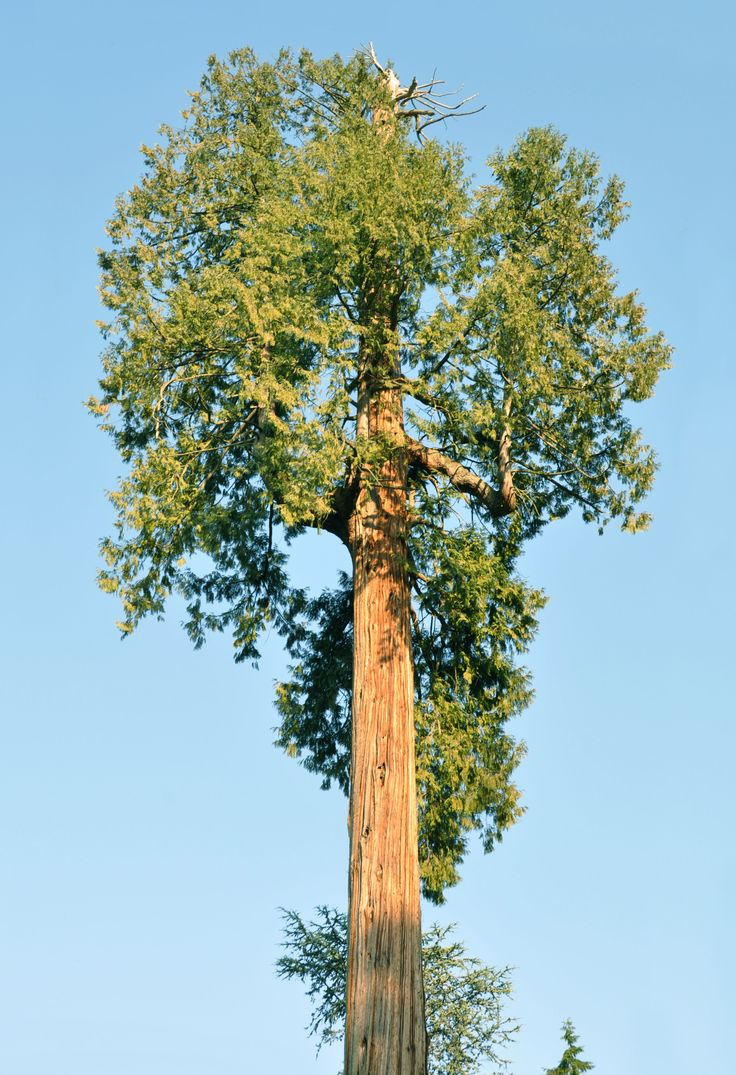 53 best trees images on pinterest north america deciduous trees western red cedar thuja plicata is known as the tree of life and is considered sacred to many native peoples this tree provided them with everything buycottarizona Choice Image