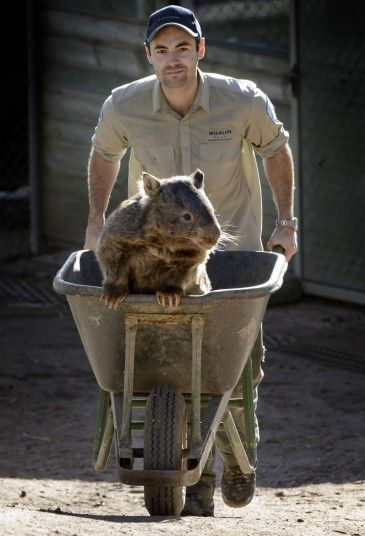 Paddy the wombat who at 27 years old makes him the oldest of his kind on record. His keeper and lifelong friend Stuart Parker, who grew up with him at the Ballarat Wildlife Park in Australia, said their friendship was unusual. When Paddy was young, the wildlife park attempted to release him three times, but he kept getting beaten up by other wombats. Picture: REX FEATURES