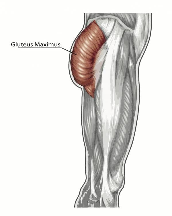gluteus maximus, glute muscles, glute anatomy, glute exercises, bigger butt