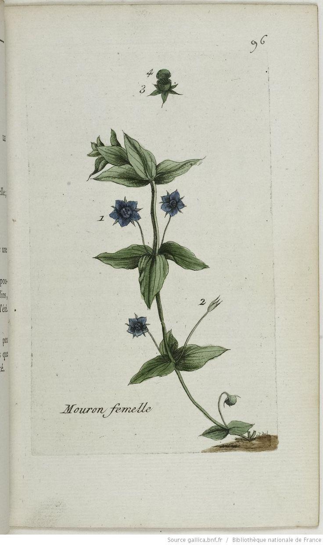 ANAGALLIS - Anagallis arvensis cœrulea. Le mouron bleu / La molêne bleue / Le mouron femelle