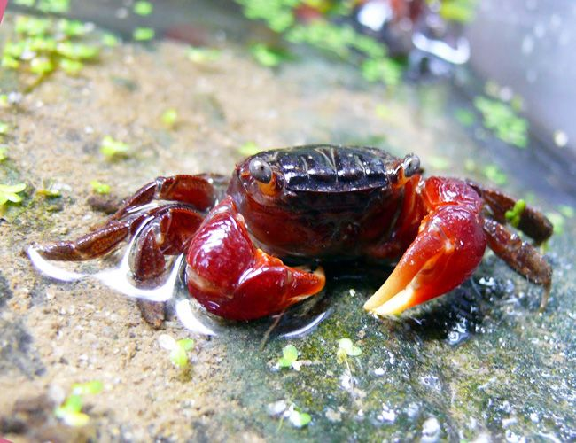 Red Claw Crab All The Information You Need The Aquarium Guide Crab Crab Species Female Crab