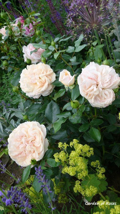 Garden of Roses, Alchemilla mollis, allium Christophii, lavandula