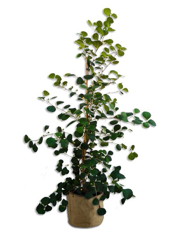 Ficus Deltonida 130cm