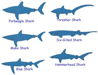 type of sharks with pictures