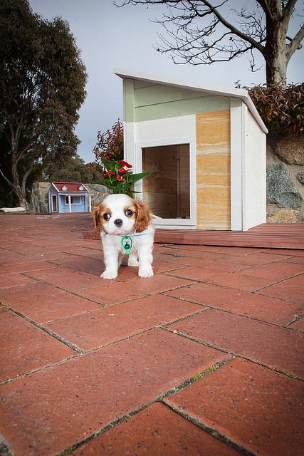 Chester explores the area outside his contemporay styled RitzPetz dog house