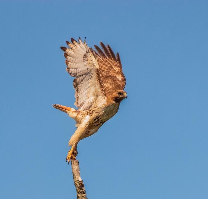 """""""Tomé esta foto de un halcón de cola roja al igual que estaba despegando en Fayetteville, Carolina del Norte.""""  FOTOGRAFÍA POR GLENN POPLIN DE NATIONAL GEOGRAPHIC YOUR"""