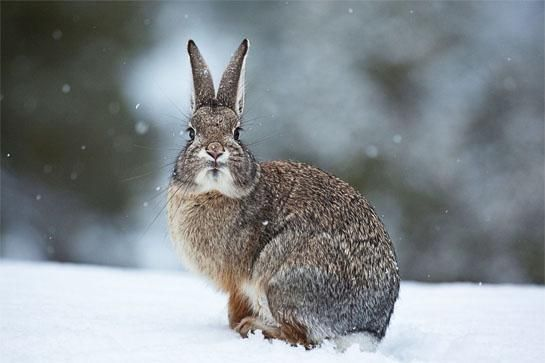 Winter Rabbit Hunting Tips