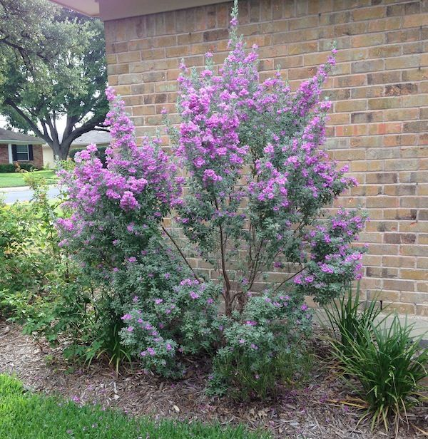 58 best low maintenance shade plants for north texas for Low maintenance plants and shrubs