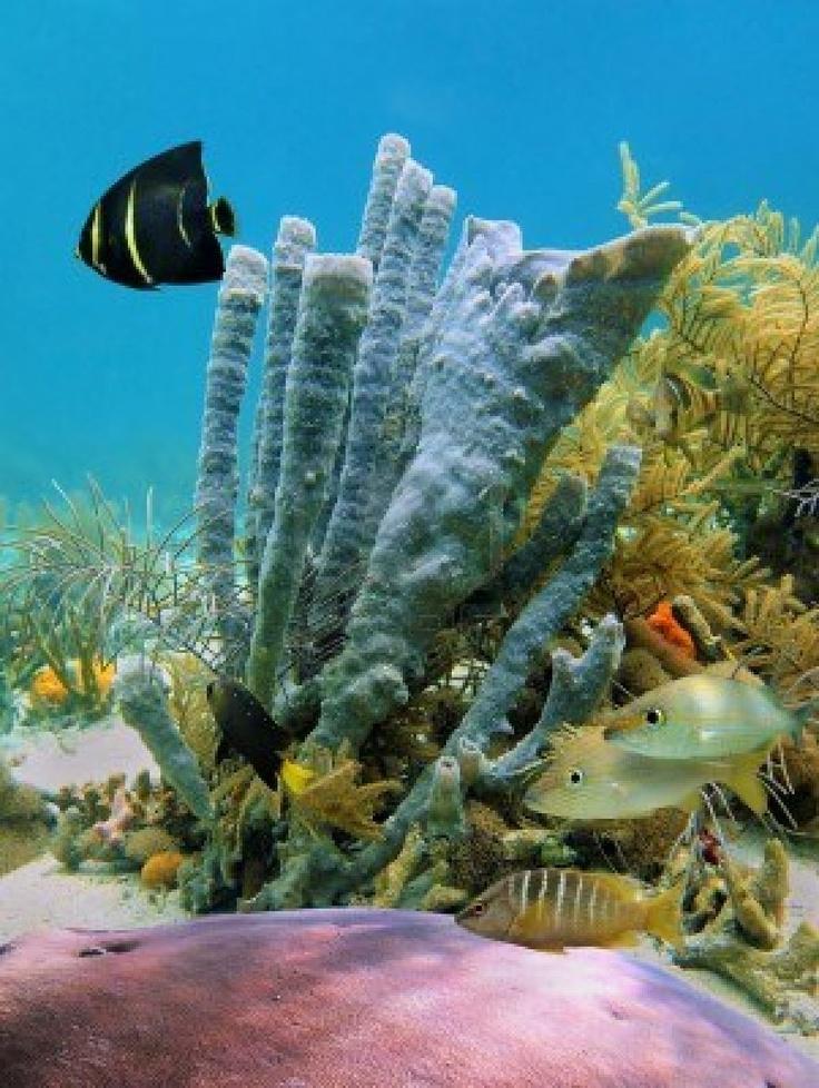 Los Fondos Marinos en el mar Caribe, con peces tropicales, corales y tubesponges