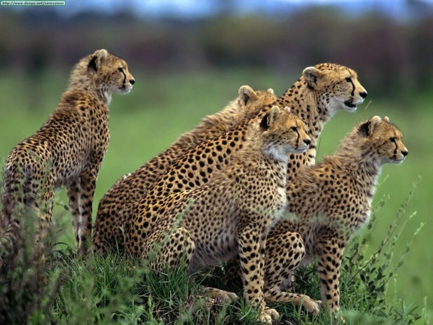 Fotos de guepardos: Wild Animal, Wild Cat, Big Cat, Cheetahs, Animal Pictures,  Chetah,  Acinonyx Jubatus, Amazing Animal, Desktop Wallpapers
