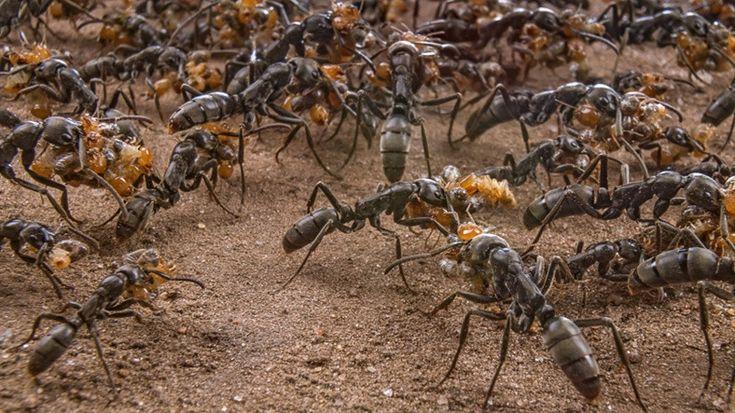 """Webtekno ///  Yaralı Karıncayı Kurtarmaya Gelen """"Karınca Kurtarma Timi"""""""