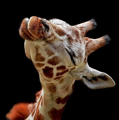 Baby Giraffes, Pucker Up, Pets, A Kisses, Creatures, Baby Animal, Adorable, Things, Giraffes Kisses