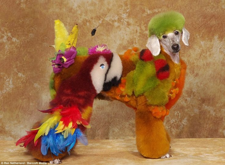 Poodle wants to quit dragging Polly around.