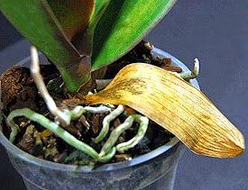 Muitas pessoas ficam preocupadas quando as folhas de suas or quídeas começam a amarelar e cair.     Entenda que existem diversos fatores pa...