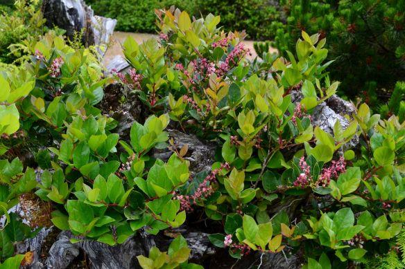 Salal Berry Salal Salal Plant Shade Garden