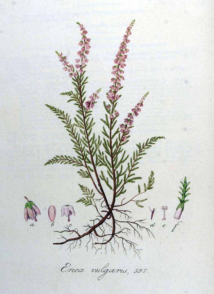 (Calluna vulgaris (L.) Hull [as Erica vulgaris L.] heather, ling, ling heather Kops et al., J., Flora Batava, vol. 8: t. 597 (1844))