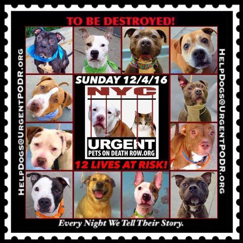 """12 BEAUTIFUL LIVES TO BE DESTROYED 12/04/16  @ NYC ACC **SO MANY GREAT DOGS HAVE BEEN KILLED: Puppies, Throw Away Mamas, Good Family Dogs. This is a HIGH KILL """"CARE CENTER"""" w/ POOR LIVING CONDITIONS.  Please Share:  To rescue a Death Row Dog, Please read this: http://information.urgentpodr.org/adoption-info-and-list-of-rescues/"""