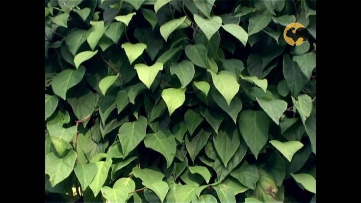 Сад и огород-110 Китайский лимонник