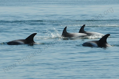 Right Whale Research Blog: #10: Dolphins in the DesertKillers Whales,  Orcinus Orcas,  Grampus, Homeschool Science, Events Lists,  Sea Wolf, Full Events,  Killers, Happen Full