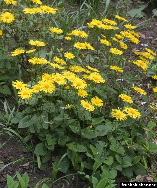 Doronicum orientale (Gemswurz / Leopard's Bane)