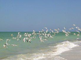 Captiva Island Florida- flock of seagulls!