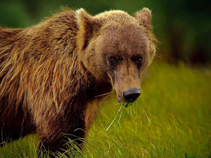 These wild Alaskan brown bears are a thing of beauty. But keeping them at a safe distance is paramount.