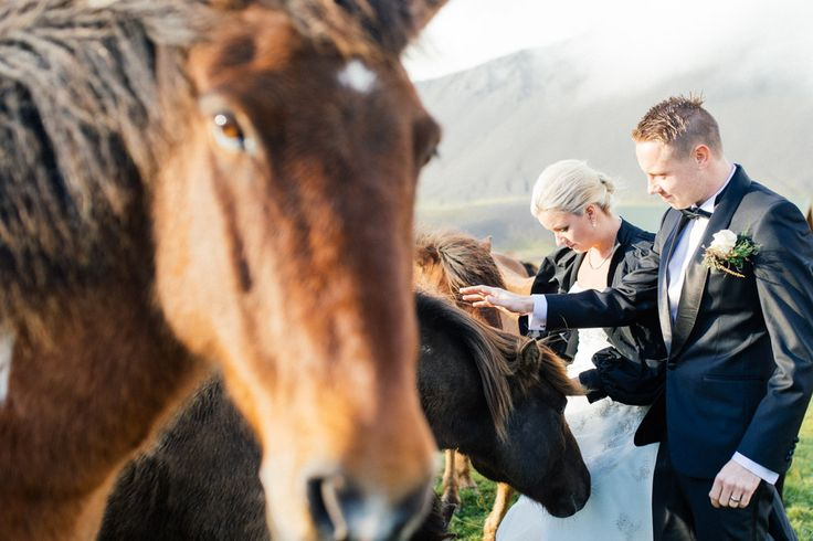Couple portraits with wild Icelandic horses after getting married at Budir Church, Iceland