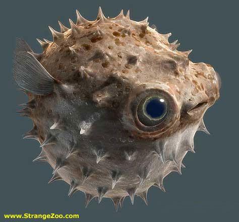 Big eyed puffer fish