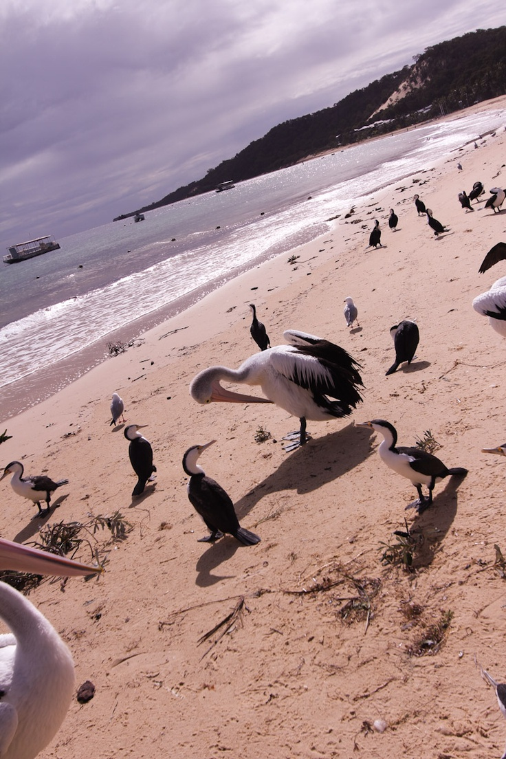 pelicans - at tangalooma