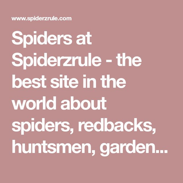 Spiders at Spiderzrule - the best site in the world about spiders, redbacks, huntsmen, garden orb weaver, funnel web, black widow, recluse, hobo spider, daddy long legs.