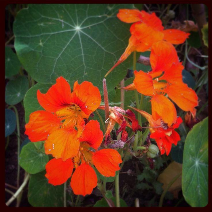 """Flores """"Espuelas de galán"""" #flores #flowers de mi #jardín"""