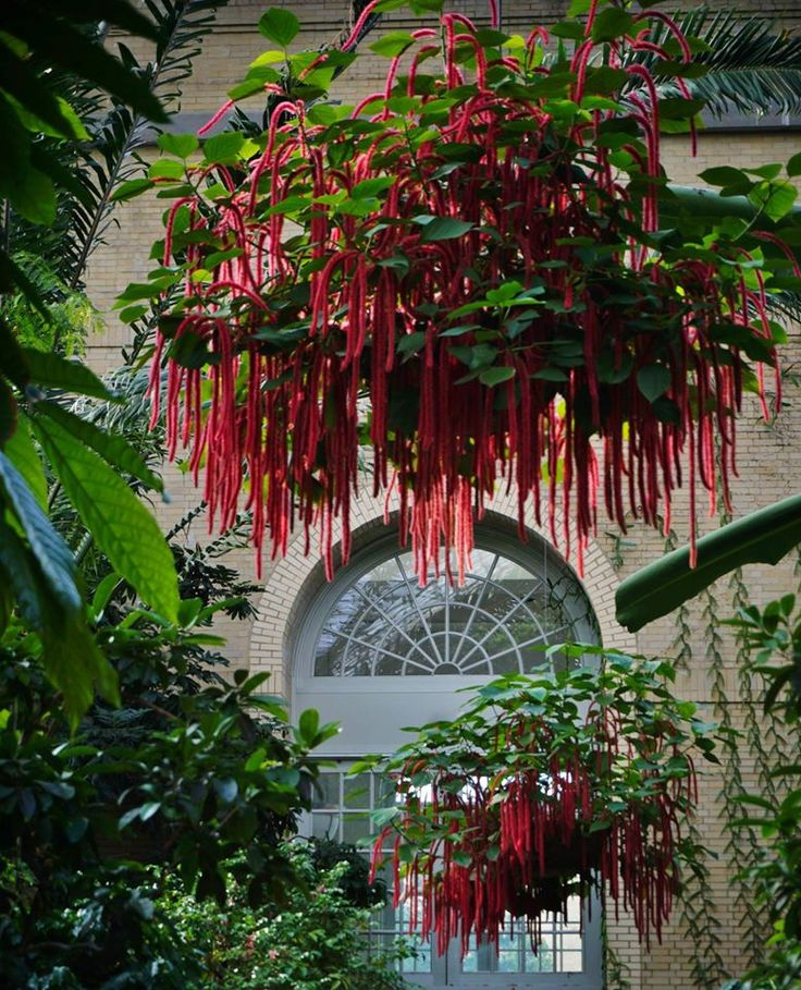 Acalypha Hispida (Chenille Plant) Makes A Great Hanging Basket Plant.
