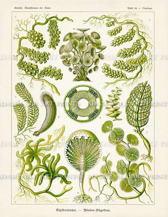 Ernst Haeckel Green Algae Scientific Illustration Art Print by AdamsAleArtPrints.