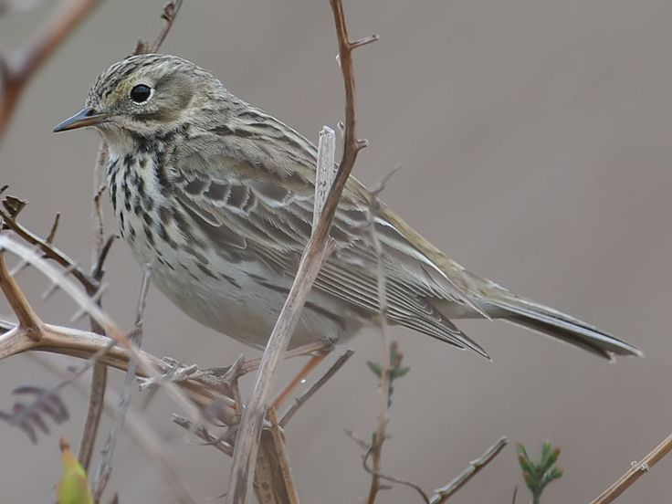 Meadow Pipit photograph (Anthus pratensis) taken at Caerphilly Common, Glamorgan on 29 April 2008