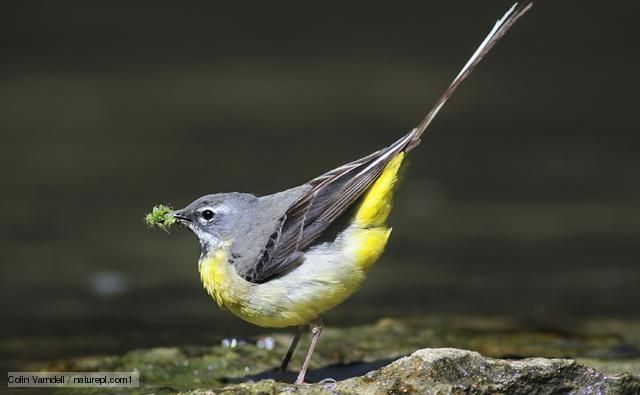 Grey wagtail (motacilla cinerea) Langford Lakes, October 2012